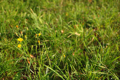 Photo of defocused grass with focus on yellow flower in left sid Stock Images