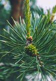 Photo depicting a bright evergreen pine three with a new small g. Reen cones. Little tiny cute colorful new fir-tree cone growth on the brunch, springtime. Macro Royalty Free Stock Photography