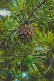Photo depicting a bright evergreen pine three with a new small g. Reen cones. Little tiny cute colorful new fir-tree cone growth on the brunch, springtime. Macro Stock Images