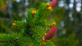 Photo depicting a bright evergreen pine three with a new small r. Ed cones. Little tiny cute colorful new fir-tree cone growth on the brunch, springtime. Macro Royalty Free Stock Image
