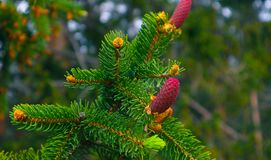Photo depicting a bright evergreen pine three with a new small r. Ed cones. Little tiny cute colorful new fir-tree cone growth on the brunch, springtime. Macro Stock Photos