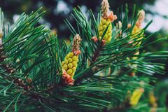 Photo depicting a bright evergreen pine three with a new small y. Ellow cones. Little tiny colorful new fir-tree cone growth on the brunch, springtime. Macro Stock Image