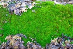 Photo depicting a bright green moss on an old stone.  Royalty Free Stock Photos