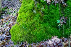 Photo depicting a bright green moss on an old stone.  Royalty Free Stock Image