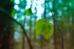 Photo depicting a macro spring view of the nut tree brunch with. Fat green fresh lovely leaves buds. Wild hazel tree leaves, spring time, de focused, blurred Royalty Free Stock Photos