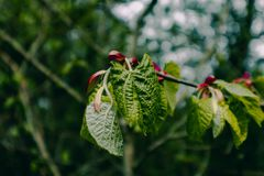 Photo depicting a macro spring view of the nut tree brunch with. Fat green fresh lovely leaves buds. Wild hazel tree leaves, spring time, de focused, blurred Stock Photography
