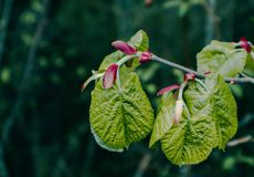 Photo depicting a macro spring view of the nut tree brunch with. Fat green fresh lovely leaves buds. Wild hazel tree leaves, spring time, de focused, blurred Royalty Free Stock Images