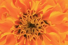 Photo depicts a abstract sweet orange flower background from marigold Tagetes flower petals. royalty free stock images