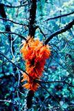Photo depicts a bright rare unusual red lichen on the thee branch. Orange moss close up, blurred forest on the background. royalty free stock images