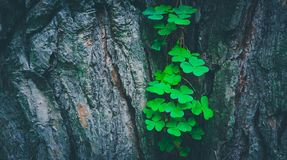 Photo depicts a pine tree trunk with a trefoil clover growing on. It. Lucky green shamrock on the tree bark in a mystic forest, beautiful fairy backdrop concept Stock Photography