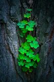 Photo depicts a pine tree trunk with a trefoil clover growing on. It. Lucky green shamrock on the tree bark in a mystic forest, beautiful fairy backdrop concept Stock Image