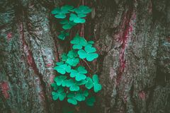 Photo depicts a pine tree trunk with a trefoil clover growing on. It. Lucky green shamrock on the tree bark in a mystic forest, beautiful fairy backdrop concept Royalty Free Stock Photography