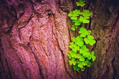 Photo depicts a pine tree trunk with a trefoil clover growing on. It. Lucky green shamrock on the tree bark in a mystic forest, beautiful fairy backdrop concept Stock Photos