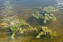 Photo des algues dans l'eau de rivière images stock