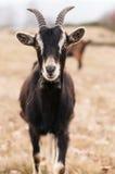 Chèvres de photo Photographie stock libre de droits