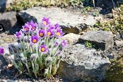 Photo des fleurs de floraison de beau pourpre avec les pétales merveilleux Images stock