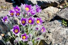 Photo des fleurs de floraison de beau pourpre avec les pétales merveilleux Photo libre de droits
