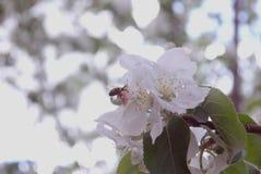 photo des fleurs du pommier contre le ciel Images libres de droits