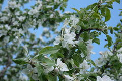 photo des fleurs du pommier contre le ciel Image libre de droits
