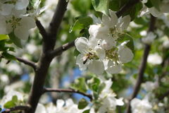 photo des fleurs du pommier contre le ciel Photographie stock