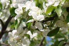 photo des fleurs du pommier contre le ciel Images stock