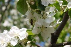 photo des fleurs du pommier contre le ciel Photographie stock libre de droits