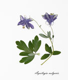 Photo des fleurs sèches signées dans le latin Image stock