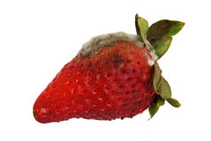 Photo des fraises putréfiées Photographie stock libre de droits