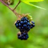 Photo des mûres noires sur le buisson en montagnes carpathiennes Photos libres de droits