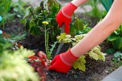 Photo des mains enfilées de gants de femme l'outil étant coupé l'mauvaise herbe du sol Photographie stock