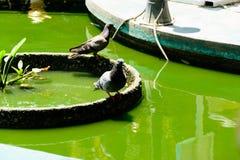 Photo des pigeons sur la piscine Image stock