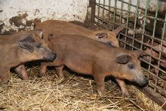 Photo des porcelets de mangalica ? la ferme d'animaux photos libres de droits