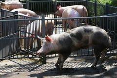 Photo des porcs domestiques derrière la cage de fer à une ferme dans un s ensoleillé Image libre de droits