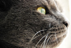 Photo des yeux jaune-gris de chat Photo stock