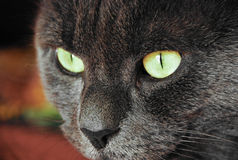 Photo des yeux jaune-gris de chat Images stock