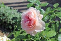 Nice pink rose. Photo detail of nice rose royalty free stock photography