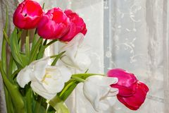 Photo of different colours tulips for any holiday Royalty Free Stock Photography