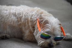 Puppy wearing shades royalty free stock image