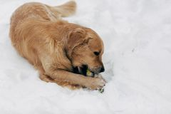 Photo of dog gnawing toy on winter walk. In afternoon Stock Photos