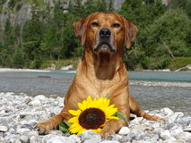 A dog, rhodesian ridgeback with sunflower. In the photo is a dog, rhodesian ridgeback with sunflower. Photo was made in summer near river Isar Vorderriß Stock Photography