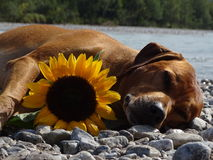 A dog, rhodesian ridgeback with sunflower. In the photo is a dog, rhodesian ridgeback with sunflower. Photo was made in summer near river Isar Vorderriß Royalty Free Stock Images