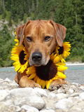 A dog, rhodesian ridgeback with sunflowers. In the photo is a dog, rhodesian ridgeback with sunflowers around the neck. Photo was made in summer near river Isar Royalty Free Stock Photos