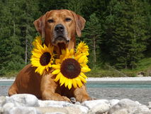 A dog, rhodesian ridgeback with sunflowers. In the photo is a dog, rhodesian ridgeback with sunflowers around the neck. Photo was made in summer near river Isar Stock Photos