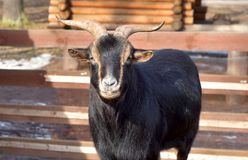 Domestic black goat. The photo of domestic black goat close up Royalty Free Stock Photo
