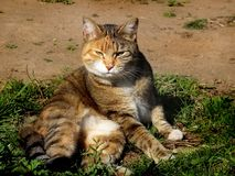 Domestic cat. Photo of domestic cat outside the house Royalty Free Stock Photos