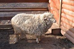 Domestic farm sheep. Stock Photos