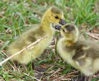 Photo drôle avec deux jeunes poussins des oies de Canada dans l'amour Photo libre de droits
