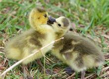 Photo drôle d'embrasser de jeunes poussins des oies de Canada Photographie stock