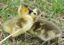Photo drôle de deux jeunes poussins des baisers d'oies de Canada Photo stock