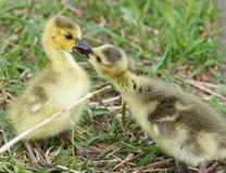 Photo drôle de deux jeunes poussins mignons des oies de Canada dans l'amour Images stock